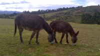 shaggy donkeys.jpg